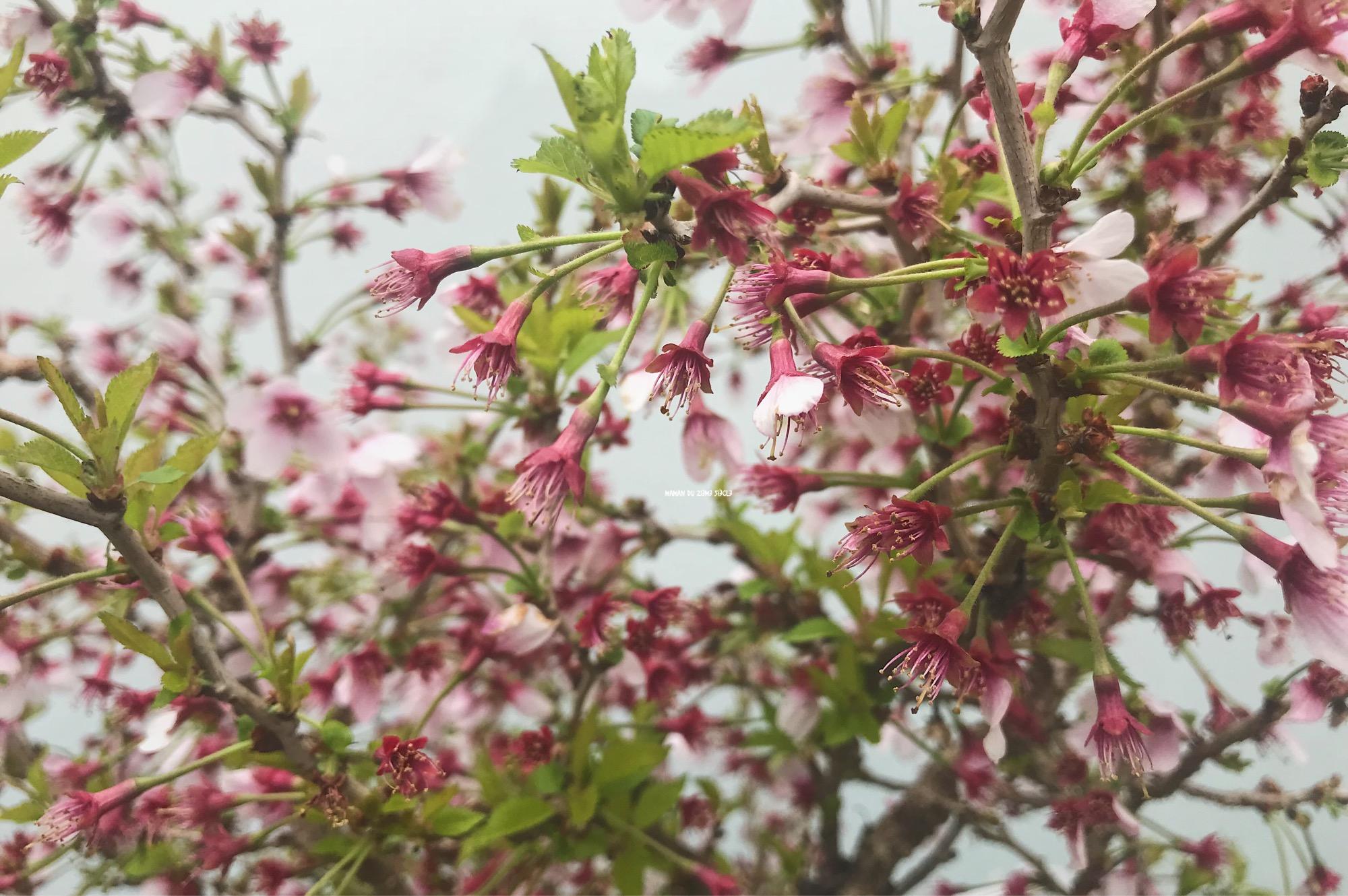 cerisier-japonais-en-fleurs
